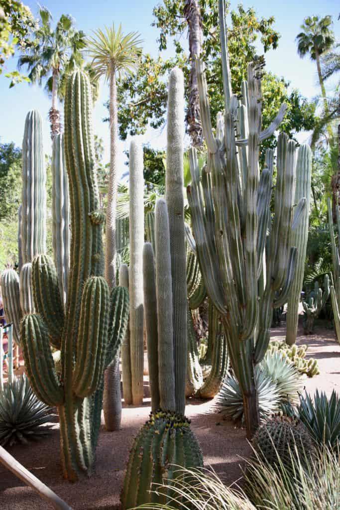 cactus jardin Majorelle